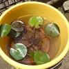 バケツで温帯性睡蓮を育て始めました!植え替え方&かかった費用まとめ