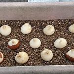 チューリップの球根買ってきたよ!プランターへの植え方と花言葉
