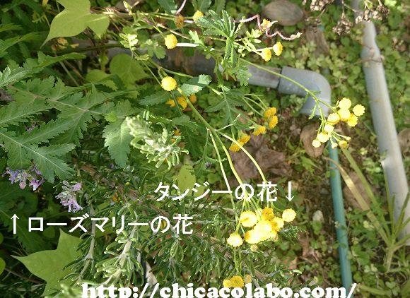 タンジーとローズマリーの花