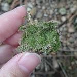 苔テラリウムに憧れて裏庭でコケ取ってきた&図鑑で種類を調べてみた