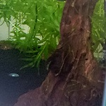 冬のウィローモス活着実験の結果&流木を水槽へ入れてみたよー!