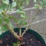 パシュミナというバラ苗が届いたので、スリット鉢に植え付けました