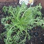 ジャーマンカモミールを育て始めた!種まき&苗の植え付けをしたよ