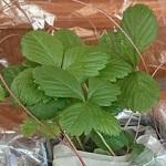 幸運を呼ぶワイルドストロベリーの苗を購入。鉢植えにしてみました