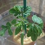 ペットマトシリーズの黄金トマトを栽培中。本葉が出たので肥料をあげたよ