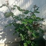 薔薇に蕾がついた!追肥・葉が込んだところを軽く剪定・謎の虫を退治