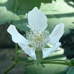 ボイセンベリーが開花&実が…!ブラックベリーは虫にやられつつ元気
