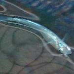 メダカの稚魚、成長中!白化マツモはバラバラに…ドワフロは大繁殖
