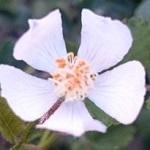 うちの庭に勝手に野生のバラ&イチゴが育ったので種類を調べてみた