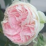 初めて育てたバラのパシュミナが開花しました!めっちゃ可愛らしい