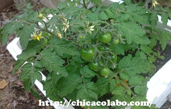 プチトマトの青い実