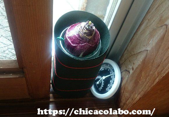 窓際のヒヤシンスの球根
