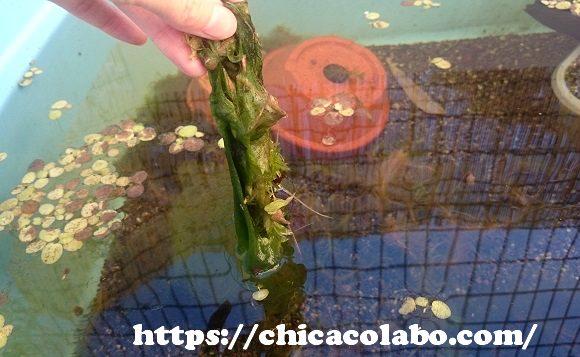 屋外メダカ水槽のアオミドロ