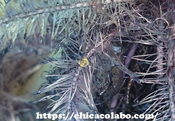 ホテイアオイの根に産み付けられたメダカの卵