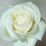 白バラ「ビブ ラ マリエ!」の大苗購入から開花までの記録。2018年