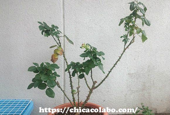 冬にまだ葉が残るパシュミナ