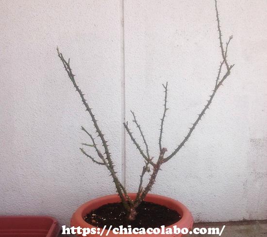葉っぱを取った冬の鉢バラ