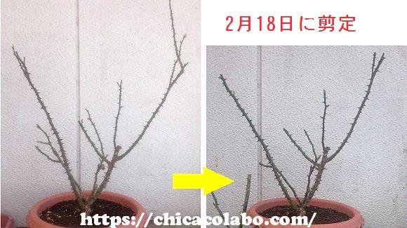 薔薇の冬剪定の前後比較