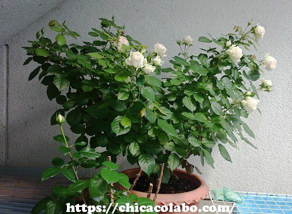 満開の鉢バラ