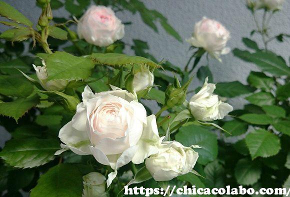 パシュミナの花