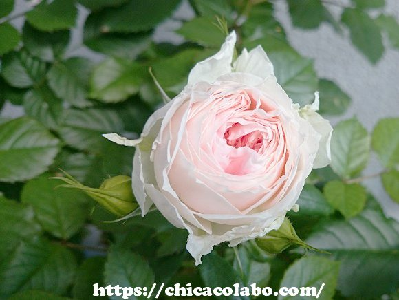 パシュミナローズの花