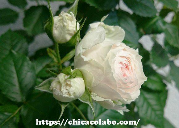 パシュミナローズの開花