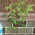 初めての盆栽!安かったのでつい「チビ紅葉」買っちゃいました