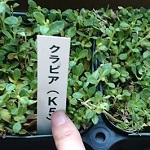 庭の雑草対策にクラピアK5・S1・S2買って植え付けてみた。3種の違いは?