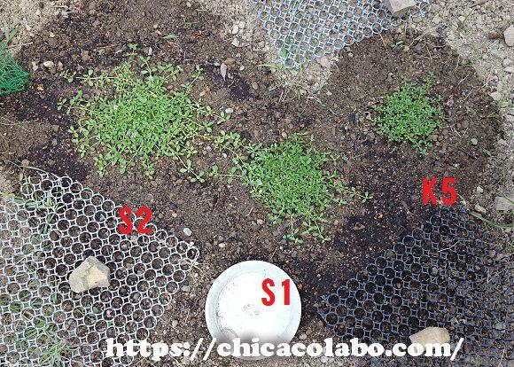 クラピア庭へ植えつけ15日後