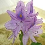 ホテイアオイ(ホテイ草)の育て方、花の咲かせ方、増やし方まとめ