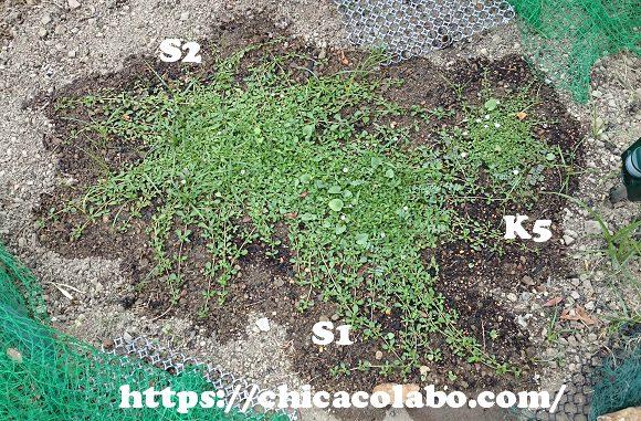 クラピア庭に植えつけ28日後