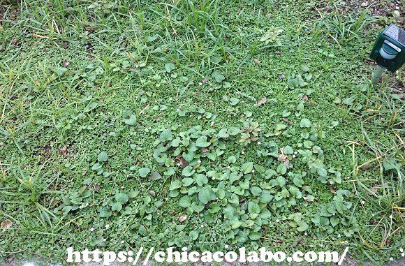 クラピア庭に植えつけ63日後