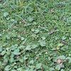 9か月前に庭に植えたクラピアのその後。イノシシと雑草との競争