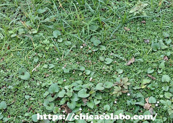 クラピアの隙間から生えた雑草