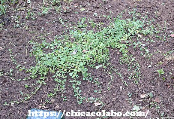 庭に植えたクラピア