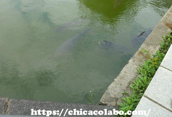 皇居のお堀の鯉