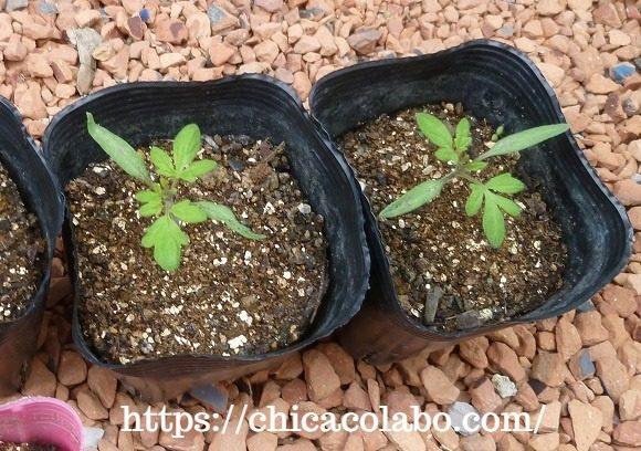 発芽後19日目のダイソー中玉トマトの苗