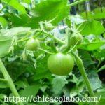 ダイソーの中玉トマトを種から育ててみた。植え付け~実がなるまで